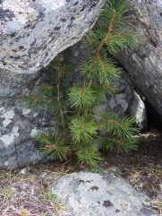 Clark's Nutcrackers cache seeds from whitebark pine trees and here under a rock outcrop, there were two whitebark pines growing. I wonder if the nutcracker planted the pine nuts and forgot them.