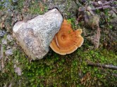 There were lots of these mushrooms that remind me of wood grain