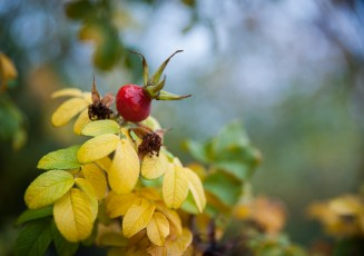 Beautiful rosehips in the Commons area next to the market at the Community Center