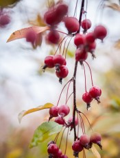And vibrant crabapples to feed the birds this winter too.