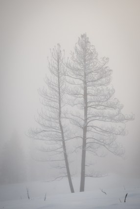 Ghost trees in the fog.