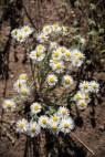 Sweet little daisy