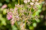 Pretty umbel flower