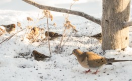 A Mourning Dove forages for seeds on the ground with the redpolls.