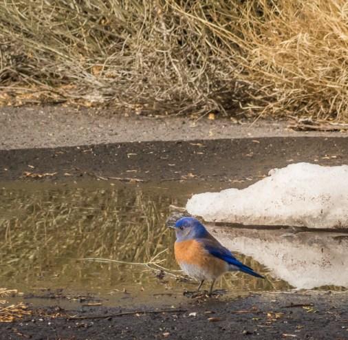 Western Bluebird - such a beautiful little bird
