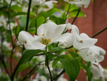 Dogwood was blooming everywhere