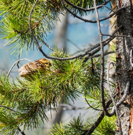 A very young grouse - either a Dusky Grouse or a Spruce Grouse, depending on who I ask.