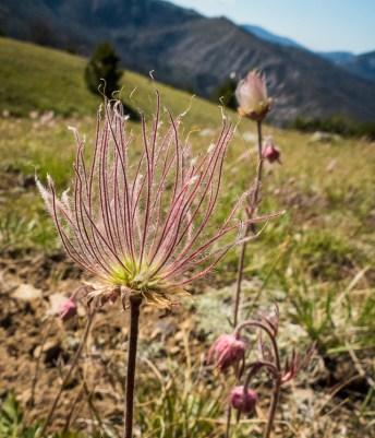 Prairie Smoke, my favorite little wildflower these days.