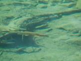 Cutthroat trout in Blue Lake