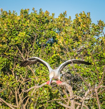 The boobys are very graceful in the air but landing and getting about in the tree tops was awkward.