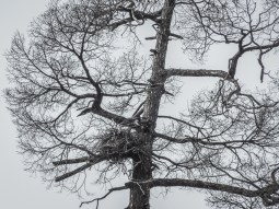 Common Raven nest