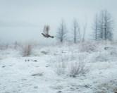 Female Dusky Grouse in flight