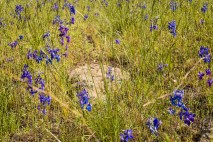 Lots of blue larkspur