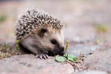 cool pets Hedgehog myexoticworld