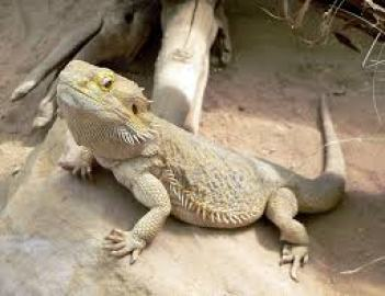 cool pets Bearded Dragon myexoticworld
