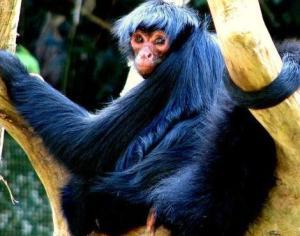 baby spider monkey