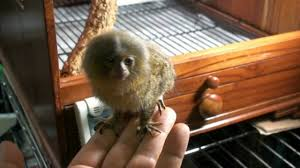 pygmy marmoset as pet