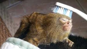 pygmy marmoset as pet