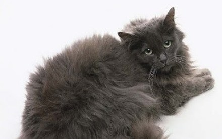Black Chantilly Cat Breed