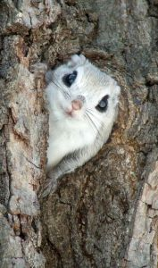 cute flying squirrel myexoticworld.com