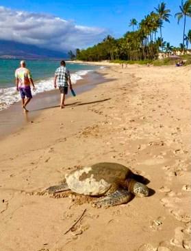 Maui Beach with Turtle