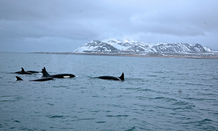 A pod of Orcas, adults and a baby, frolicking in the sea.