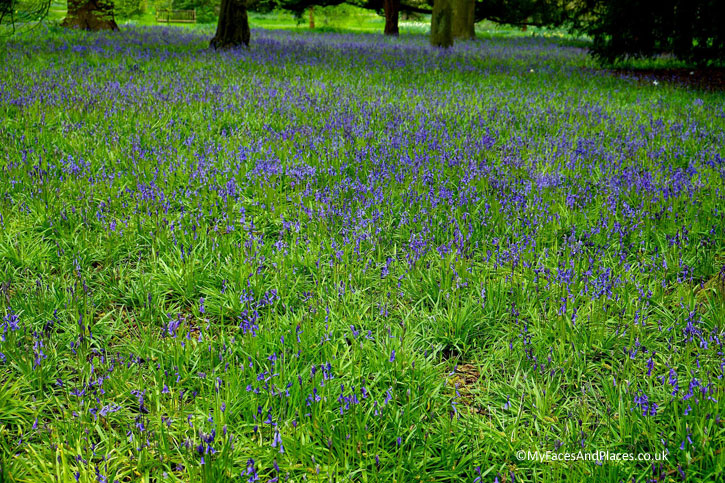 Fields of Bluebells in Kew Gardens.