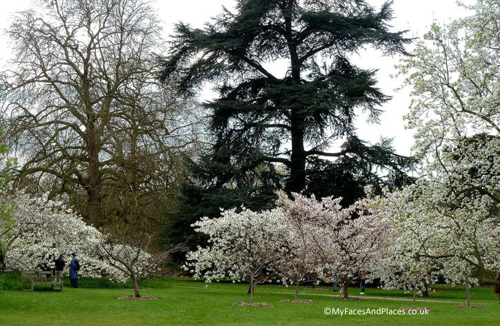 More of the Cherry Blossom Walk