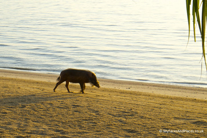 Gaya Island Resort - A resident wild boar enjoys a stroll along the beautiful beach at sunrise.