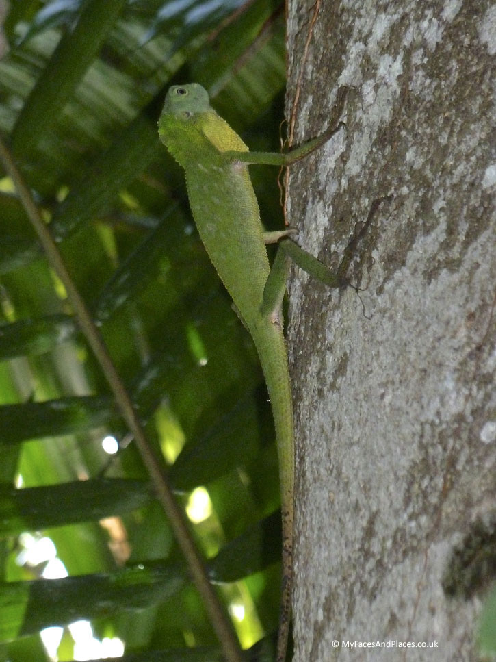 Gaya Island Resort - A chameleon blending in with the background