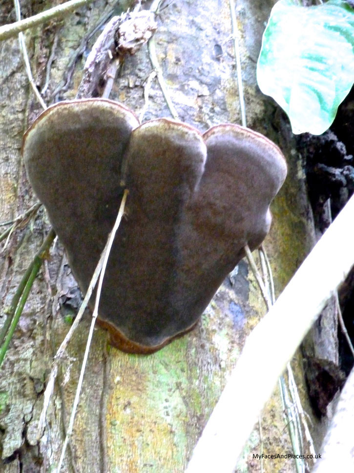 Gaya Island Resort - Giant heart-shaped fungus is just one of the wondrous sights in the jungle on our nature walk