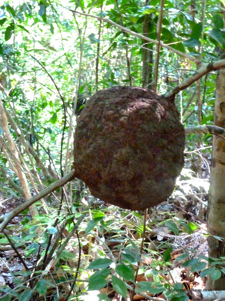 Gaya Island Resort - A huge ball of ants' nest anchored on a branch showcases their construction skills