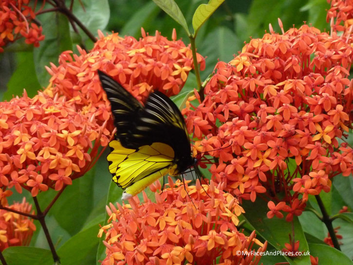 Borneo Birdwing Butterfly. Albert Teo - A Man with a Green Mission