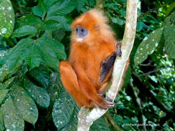 The ravishing Red Leaf monkey. Albert Teo - A Man With A Green Mission