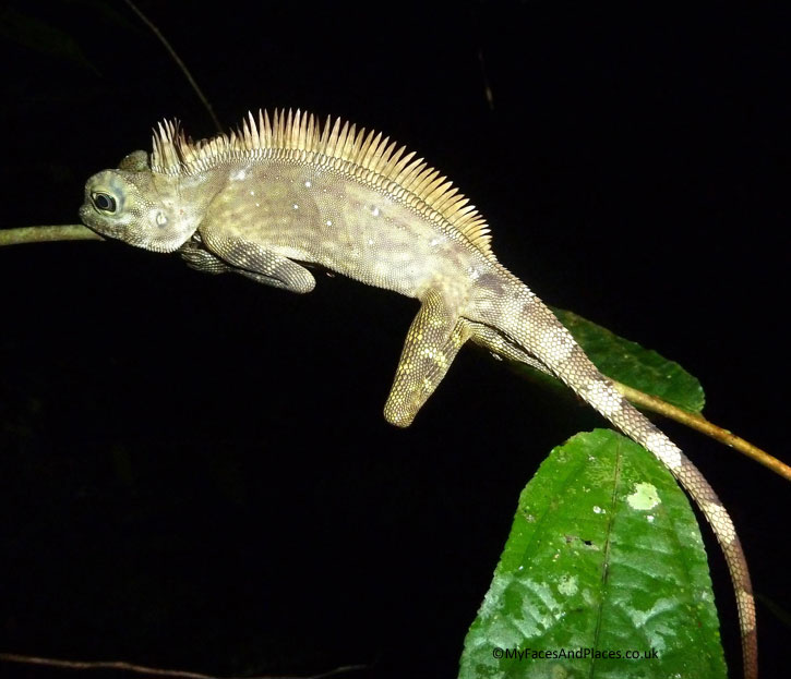 Crested tree lizard of Borneo. Albert Teo - A Man With A Green Mission