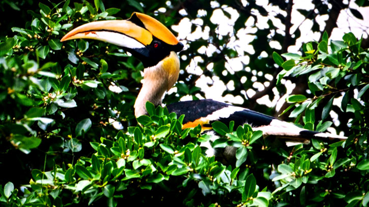 An Oriental Pied Hornbill rules the roost on Pangkor Laut (photo credit: YTL Hotels)