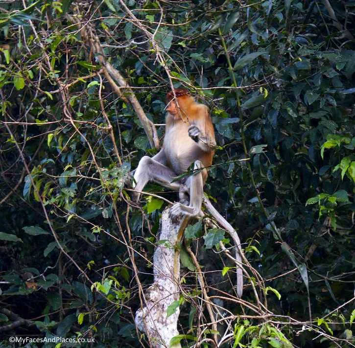 Male proboscis monkey and his harem by the Kinabatangan River - in Sabah