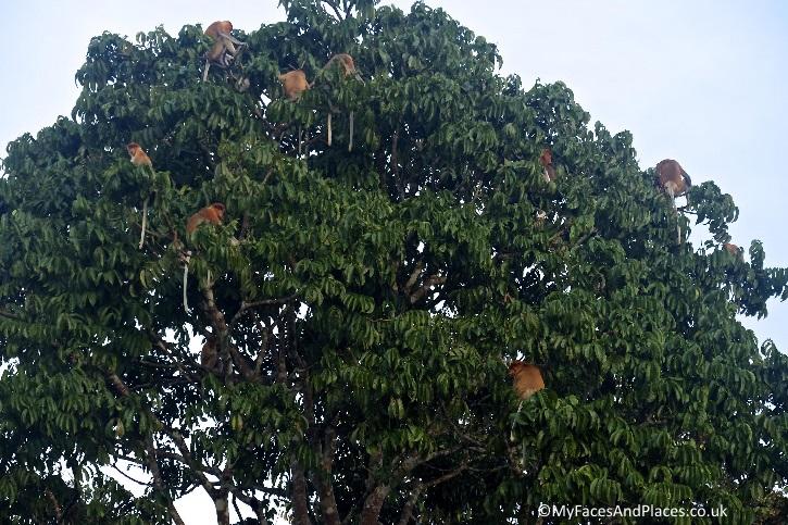 The proboscis monkey's harem - in Sabah