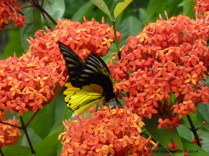 Gorgeous birdwing butterfly drinking nectar from the Ixora flowers by the lodge - in Sabah