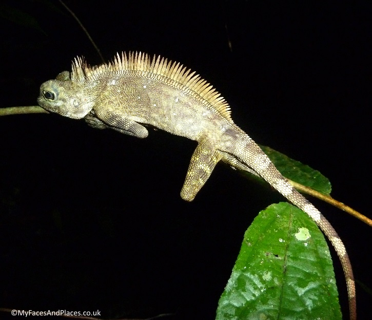 A resting chameleon spotted on our night safari in Danum Valley in Sabah.
