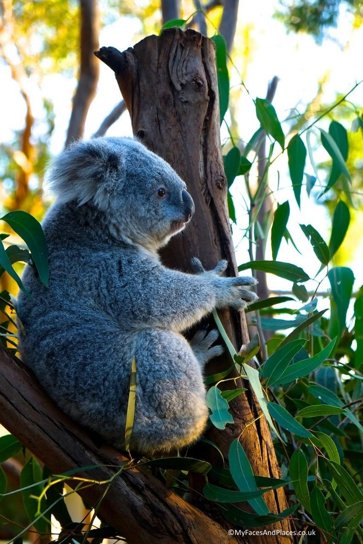 Who could resist a cutie like this koala?