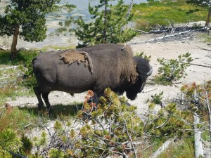 yellowstone national park kids visit the national parks for free