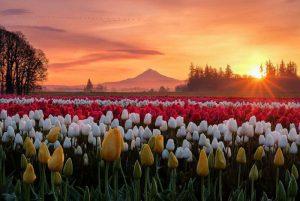 tulip festival oregon