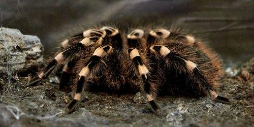 Почему тарантулы живут с лягушками?