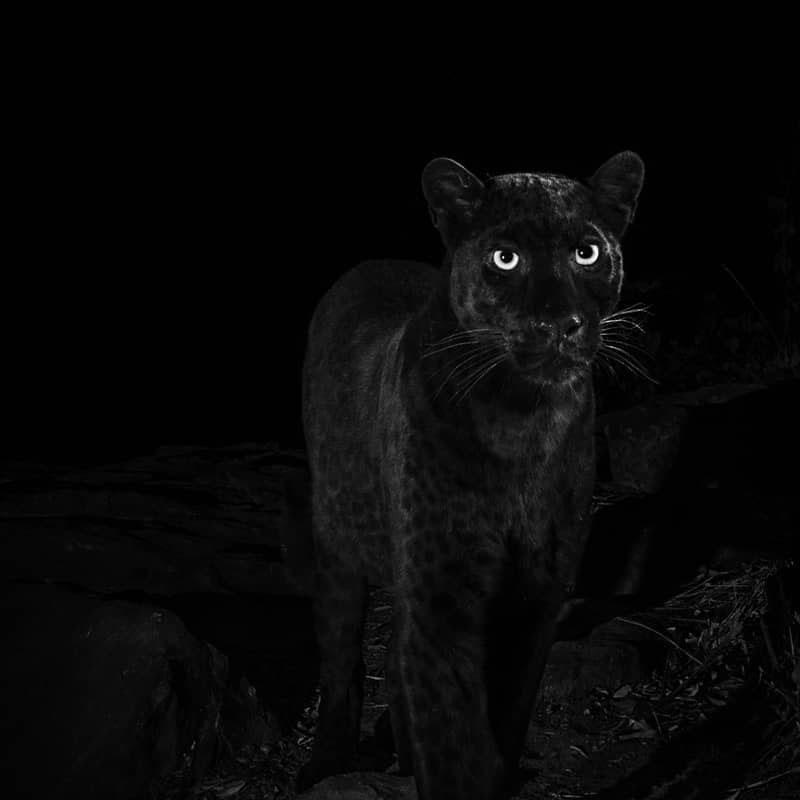Редкого черного леопарда удалось снять на камеру