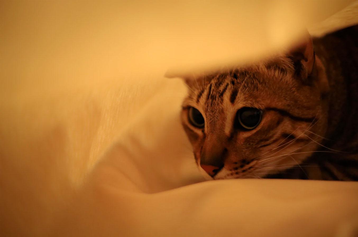 котик спрятался под одеялом