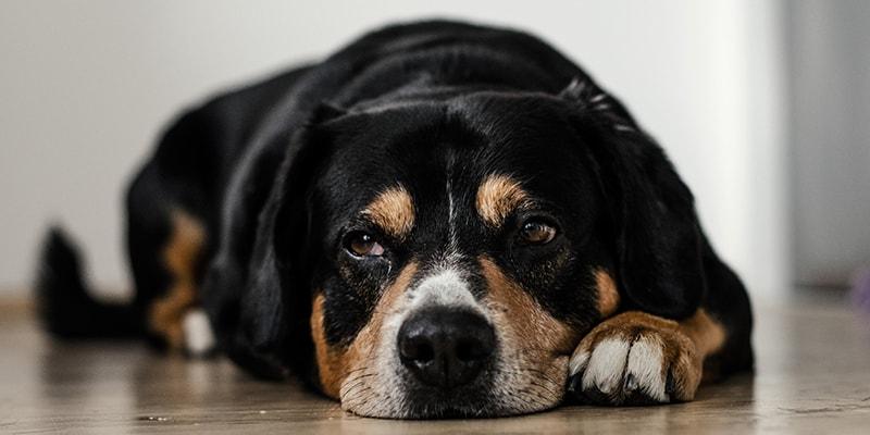 Собака метить все в квартире? Простые советы решения этой проблемы