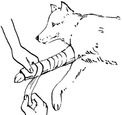 Собака может встать, но хромает. Это значит, что у нее вывих или перелом конечности. В такой ситуации следует наложить шинную повязку.