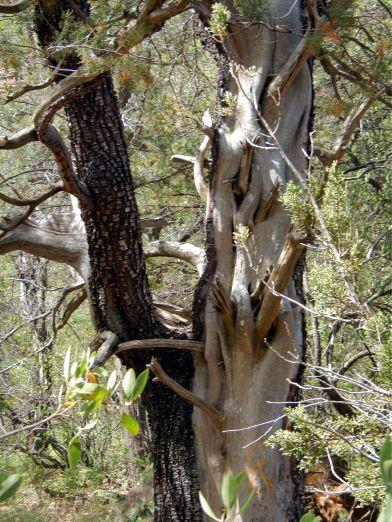 Fay Canyon Knarly Tree