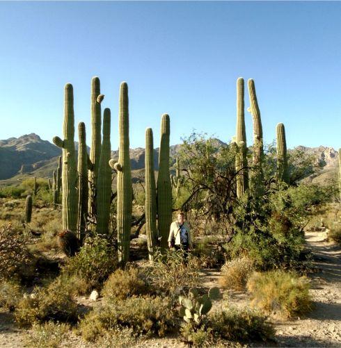 Sabino Canyon Saguaros 3